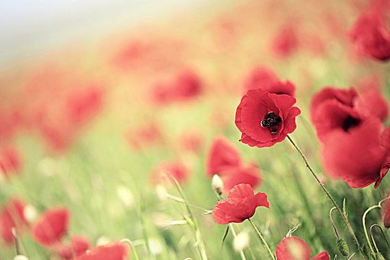 poppies ... van Els Fonteine