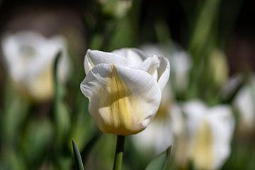 Tulp van Ingrid Aanen
