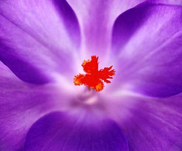 A cœur ouvert... (Crocus violet) sur Caroline Lichthart
