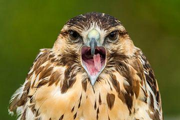Bird of prey van Rob Smit