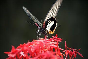 Thaise vlinder op bloem von Loraine van der Sande