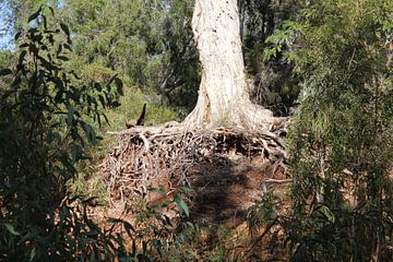 Foto van wortels van een boom von Nicole Roozendaal