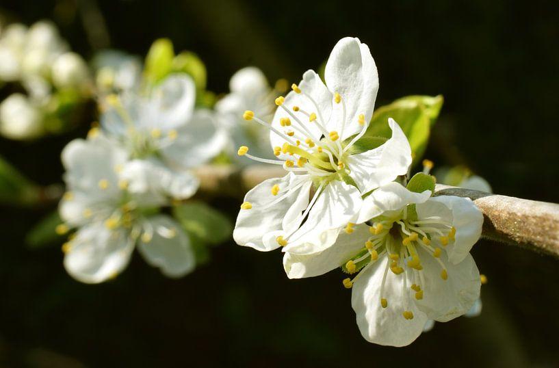 Pruimenbomen pruimen bloesem bloem lente van Mark Rademaker