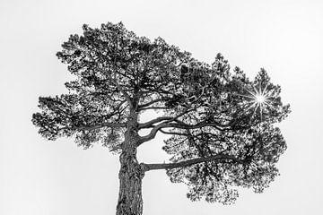 Pijnboom in het tegenlicht van de zon von Harrie Muis
