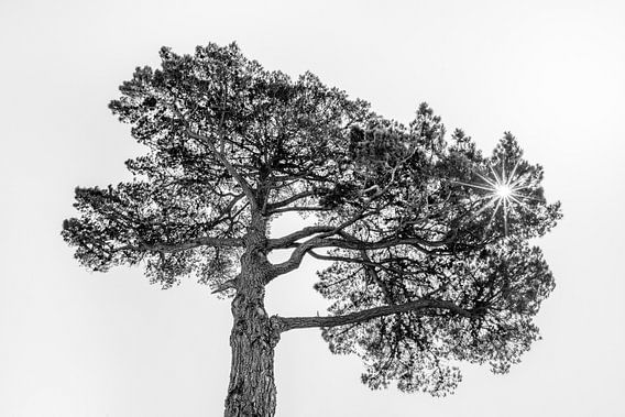 Pijnboom in het tegenlicht van de zon van Harrie Muis