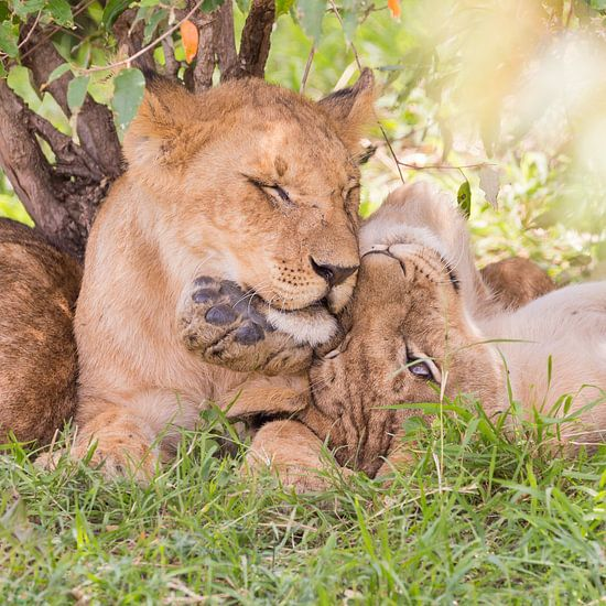 Afrika | Leeuwen welpen - Afrika Kenia Masai Mara van Servan Ott