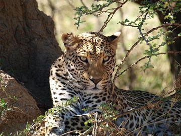 Luipaard Namibië van Annie Lausberg-Pater