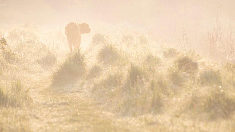 Schotse hooglander in het ochtendgloren van Bas Ronteltap