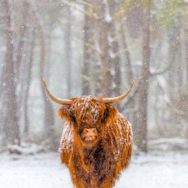 Porträt der schottischen Hochlandviehkuh im Schnee von Sjoerd van der Wal Fotografie