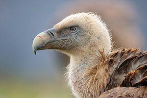 Portrait d'un vautour fauve