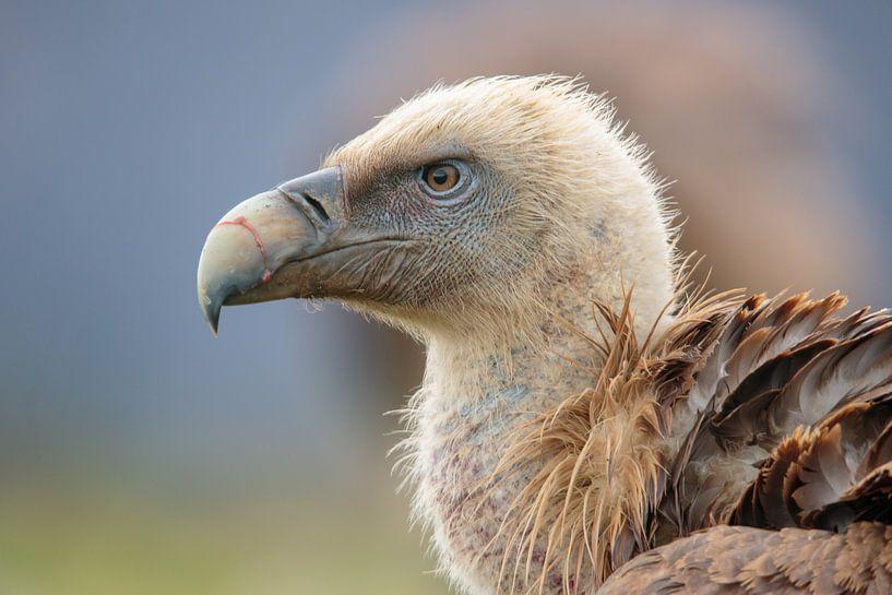 Portrait d'un vautour fauve sur Photo Henk van Dijk