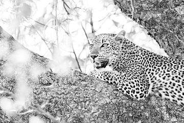 Luipaard in boom van Anja Brouwer Fotografie