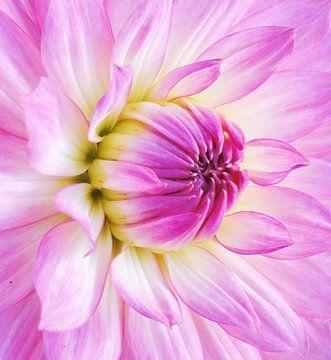 Pink dalia - Bloomquist Parasol von Lotte Veldt