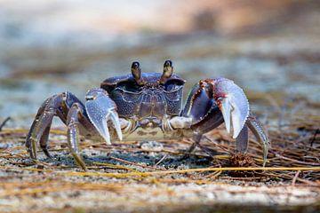 Spider Crab (Neosarmatium meinerti) von Dirk Rüter