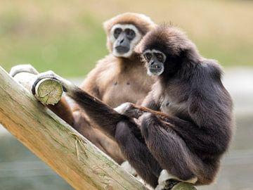 Withandgibbon : Ouwehands Dierenpark von Loek Lobel