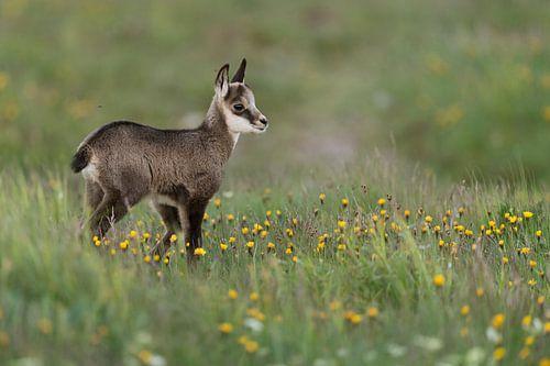 baby animal between flowers... Chamois *Rupicapra rupicapra* van wunderbare Erde