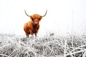 Schotse Hooglander in een besneeuwd landschap