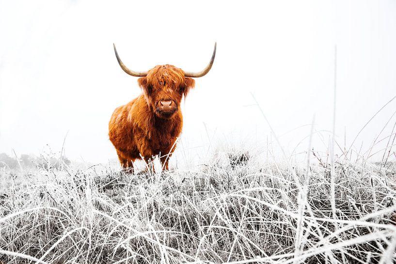Schotse Hooglander in een besneeuwd landschap van AGAMI Photo Agency