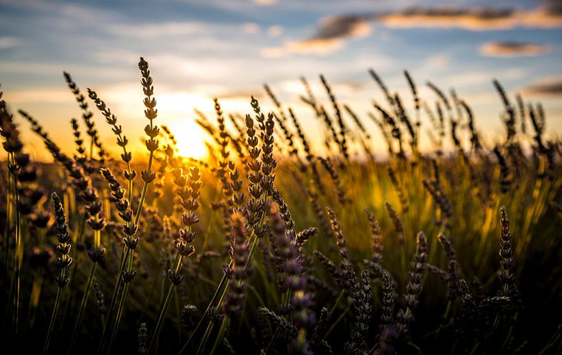 Lavendelveld bij zonsondergang van Cynthia Hasenbos