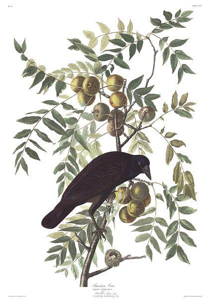 Amerikaanse Kraai van Birds of America
