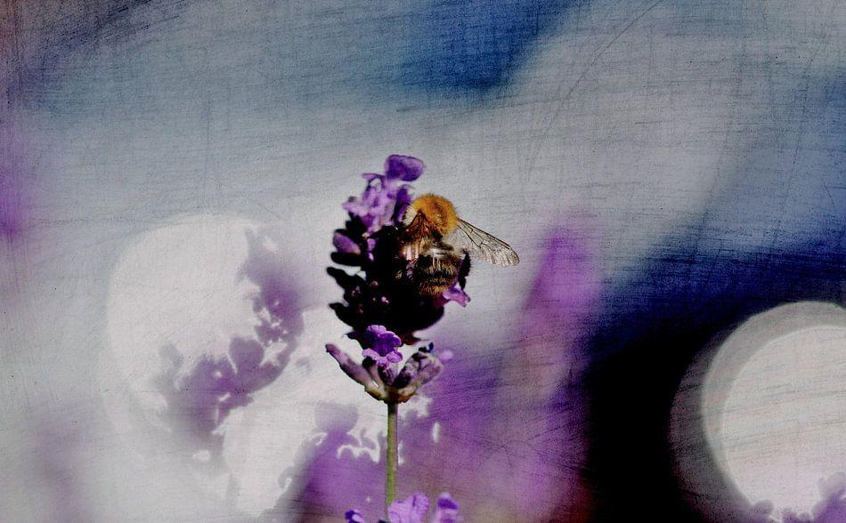 lavenders blue