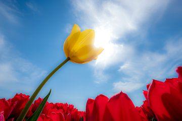 Gele tulp in rood tulpenveld van Moetwil en van Dijk - Fotografie