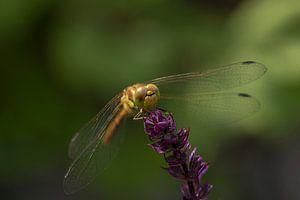 Bruinrode Heidelibel van