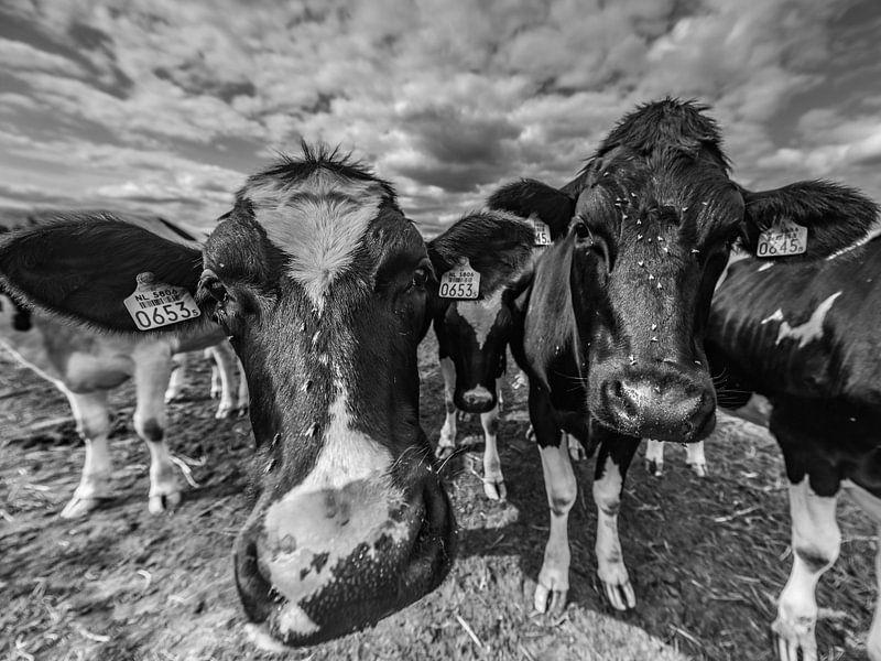 Twee Pinken, koeien van Tara Kiers