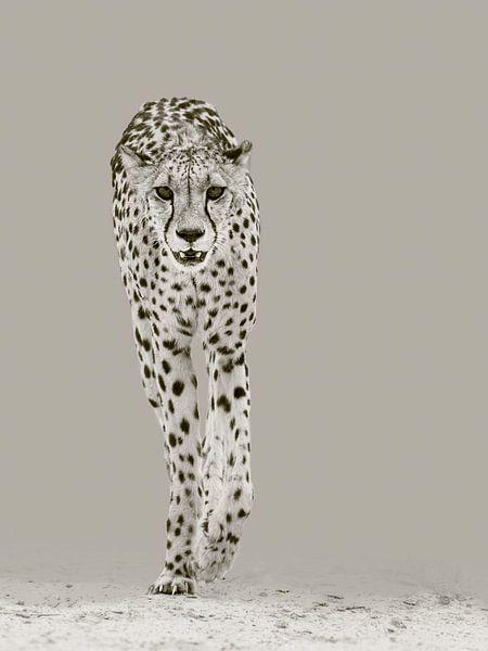 De sterke cheetah van Sharing Wildlife