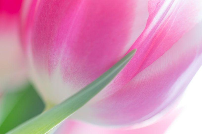 Tulp van Judith Borremans