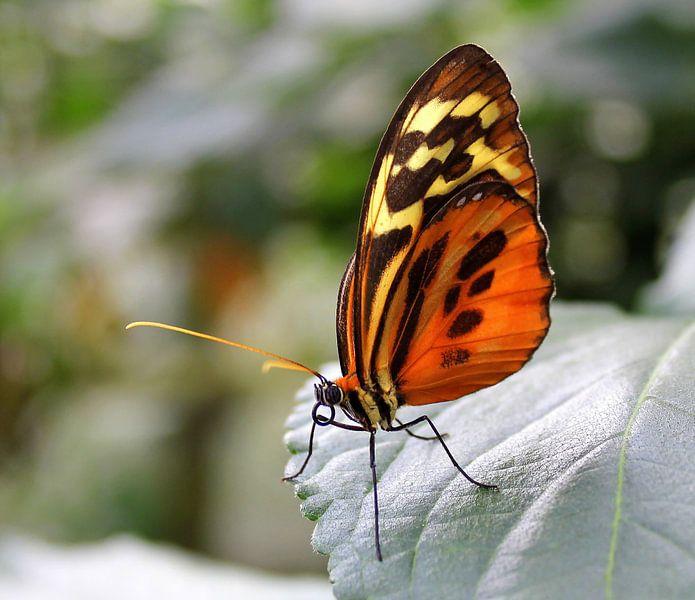 Vlinder de Heliconius Hecale Zuleike