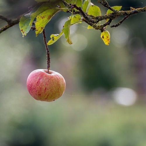 Letzter Apfel, der den Apfelbaum verzweigt.