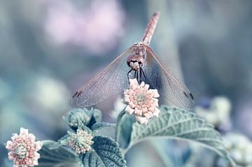 Dragonfly sur Violetta Honkisz