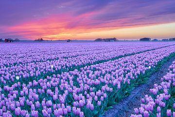 Zonsondergang boven een paars bloembollenveld van eric van der eijk