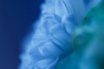 Blauwe Chrysant van Cora Unk