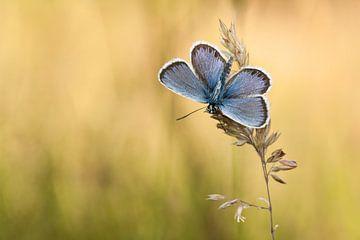 Vlinder, Heideblauwtje van Aukje Ploeg