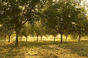 Ochtendzon in de walnotengaard van