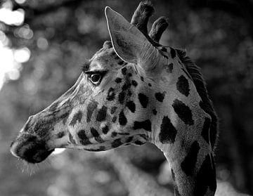 Giraffe van Tinus Tibbe