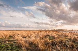 Rietkragen in de polder van