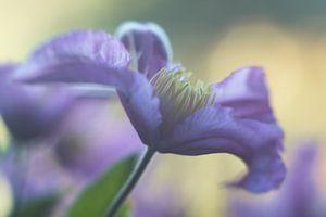 Clematis in bloei