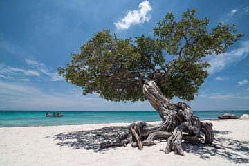 Divi divi tree on palm Beach Aruba von