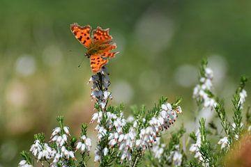 Oranje vlinder op witte bloem van Kim de Been