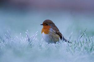 Roodborstje in de winter