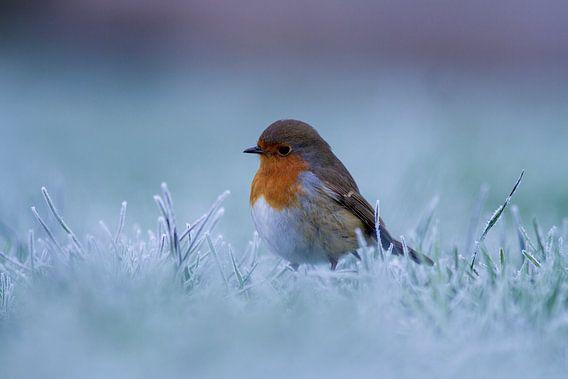 Roodborstje in de winter van Berend Drent