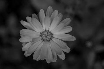 Blume in Schwarz-Weiß-Fotografie von JM de Jong-Jansen
