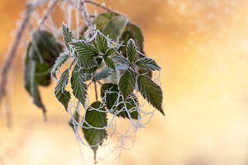 Close-up van een brandnetel met bevroren spinnenwebben van Annabell Gsödl