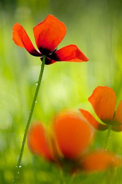 Poppy love -  Klaproos van Andrea Gulickx