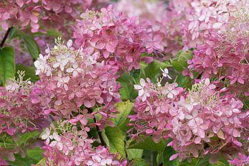 Roze bloemen zee van pluimhortensia. sur Rob Kuiper
