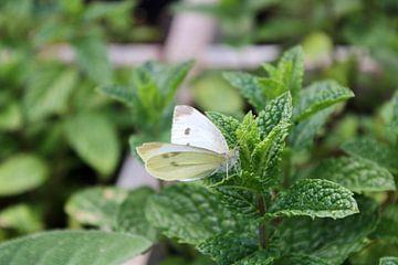 witte vlinder op een muntplantje van Joran Keij