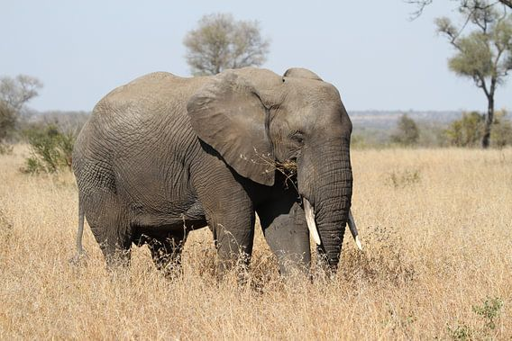 Olifant Zuid Afrika van Jeroen Meeuwsen